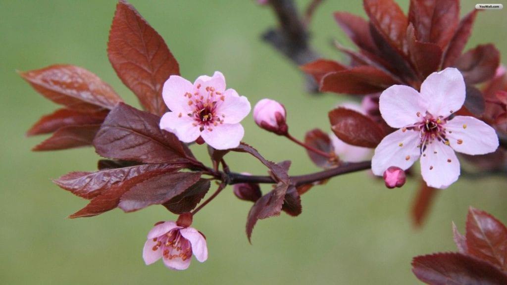 lovely-pink-flowers-wallpaper